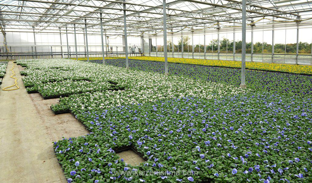 Violets cultivation in greenhouse - Violets cultivation in greenhouse v 1576177062 - Trades and industry solutions for critical exproof fields